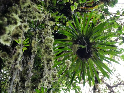 Bromeliad and moss on hanging lianas.