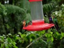 Four Species of hummingbirds.